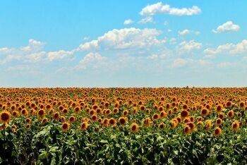 Sunflowers Free State